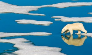 A lone polar bear walks on Arctic pack ice