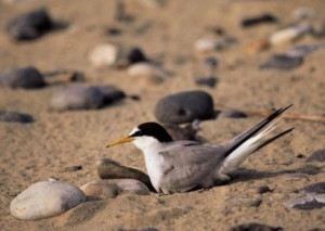 A little tern sat on a nest in Winterton