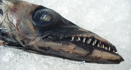 This odd fish is a black scabbardfish (Aphanopus carbo). It is one of several deep-water species with health problems that may be related to pollution.