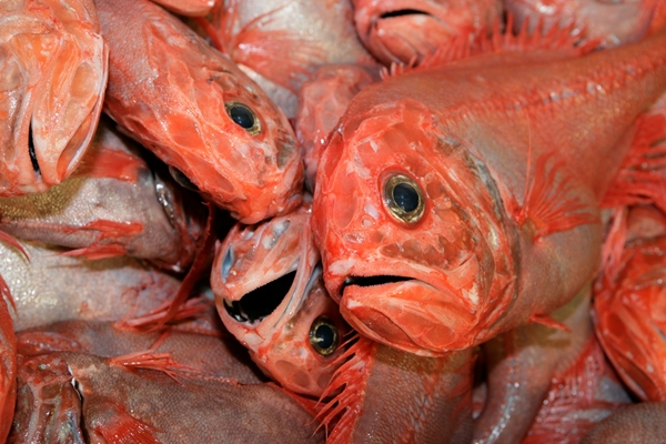 orange roughy, a deep sea species