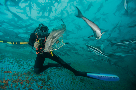 Picture of a diver in a cobia pen