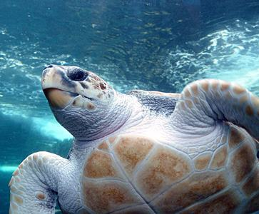 Loggerhead sea turtle  Photo courtesy Wikimedia Commons/Damien DuToit.