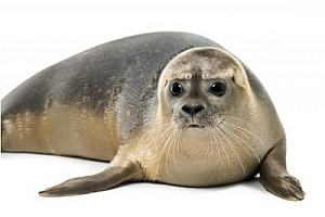 Seal numbers in the Forth and Tay area have been plummeting, partly because of corkscrew injuries