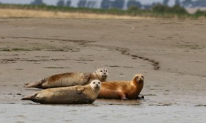 700 seals spotted in Thames Estuary