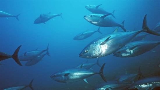 Pacific bluefin swim in the ocean. Richard Herrmann