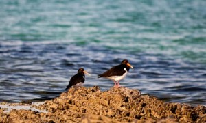Oystercatchers on rocks by sea at the shoreline Sutherland, Scotland