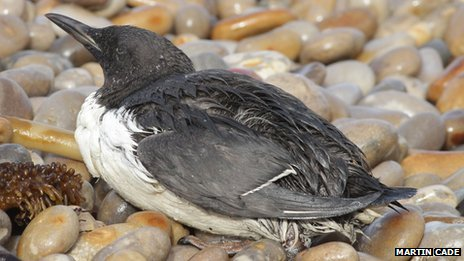 Seabirds washed... Palm Oil Spill