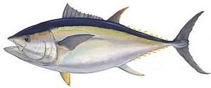 Tuna bigeye