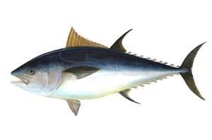 """Atlantic Bluefin Tuna / NOAA"" ""Photo: ""NOAA / www.photolib.noaa.gov"