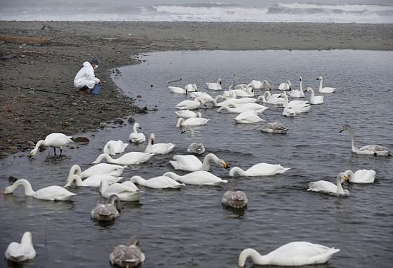 A volunteer feeds swans in an area destroyed by the March 11, 2011 tsunami inside the exclusion zone in Okuma, near Tokyo Electric Power Co's (TEPCO) tsunami-crippled Fukushima Daiichi nuclear power plant. Photo by Toru Hanai/Reuters]