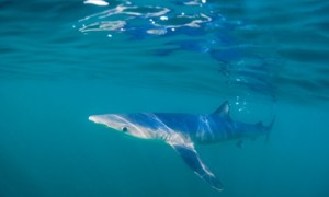 Blue shark in Cornwall, UK