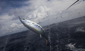Sustainable Tuna fishing : Pole and Line Fishing in the Maldives