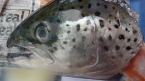 The head of a farmed salmon sold in a B.C. supermarket is pictured in this file photo.