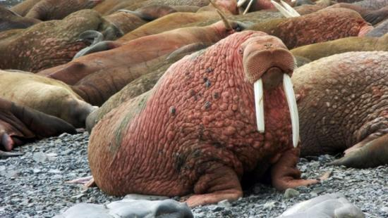 This May, 2015 photo provided by explore.org, shows walruses on a beach, recorded by a robotic camera on Round Island, Alaska. (explore.org via AP)