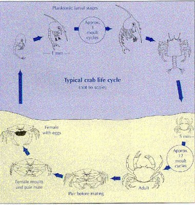 Lifecycle of crab