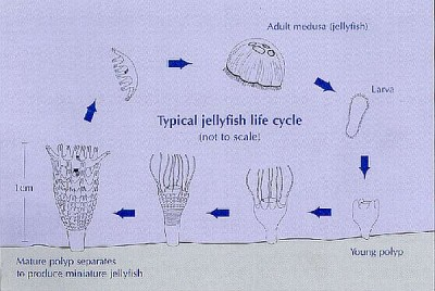 Jellyfish life cycle