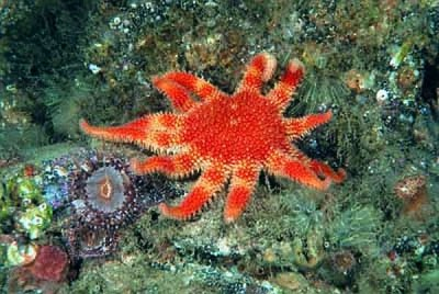 Common sunstar